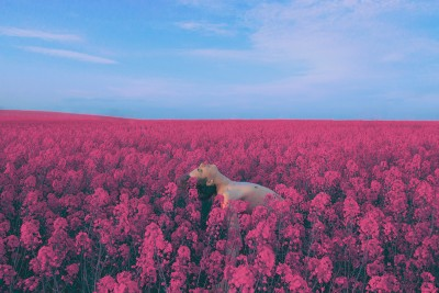 A photograph by Jennifer Medina of a shirtless man in a field of red flowers